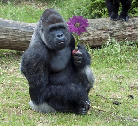 gorilla: macho fruto de nectarines comer gorila