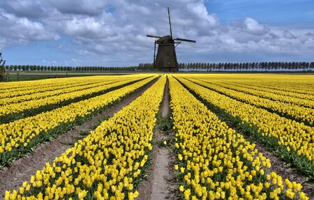 Dutch windmill and yellow tulip fields near Amsterdam photo
