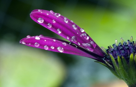 waterdrop on the osteosermum in morning after rain photo