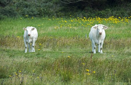 two cow in holladn looking and standing on green grass photo