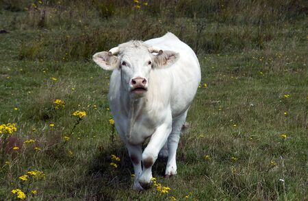 white cow on green grass in nature photo