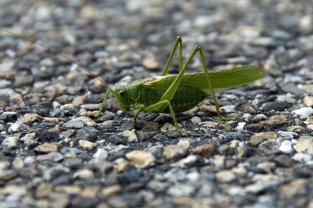 caelifera: arthropoda grasshopper in the wild in Holland europe Stock Photo