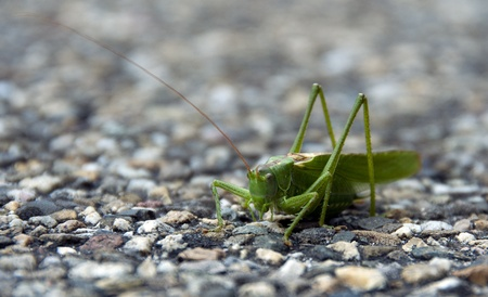 arthropoda: arthropoda grasshopper in the wild in Holland europe Stock Photo