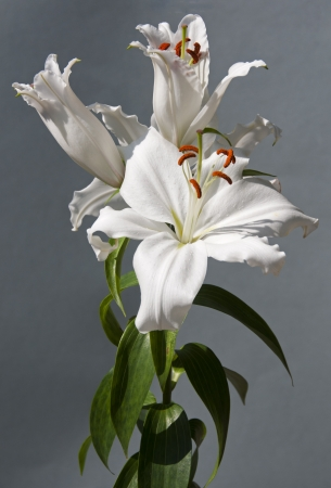 white lily with a grey background