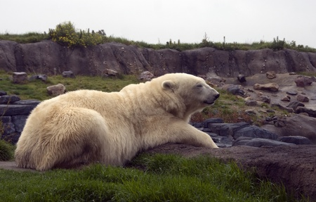 white icebear in zoo on green grass photo