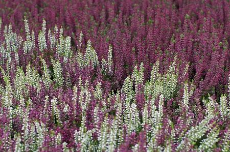 ericaceae: rosso, rosa e bianco erica sfondo