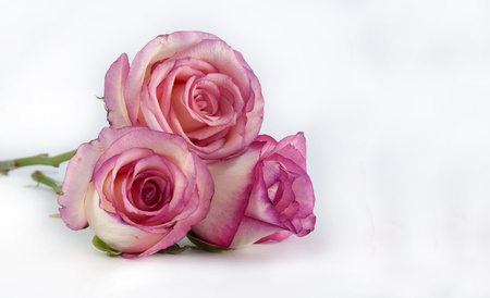 three pin k roses on isolated background