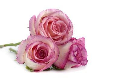three pin k roses on isolated background photo
