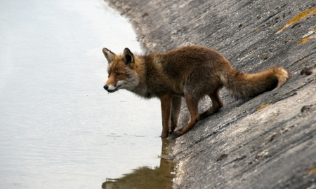 wil: wil red fox in Holland drinking water