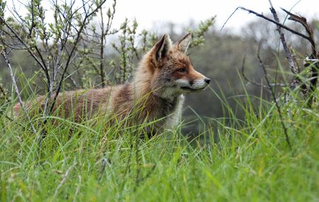 red wild fox in Holland photo