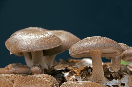 eatable: brown eatable fungus mushroom lentinula Stock Photo