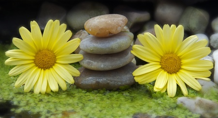 yellow flowers and stones in water photo