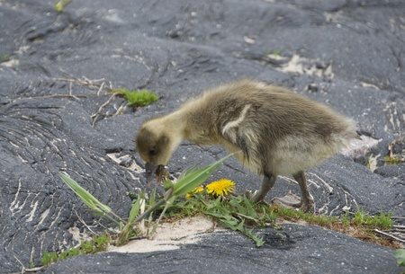 young goose eating grass as food photo