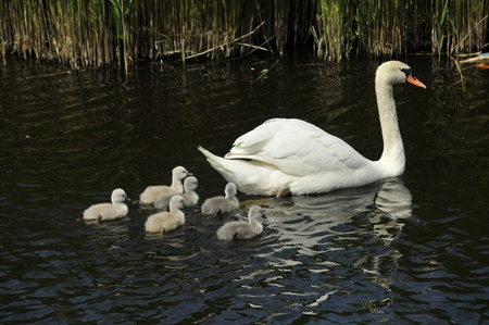 swan family with young birds photo