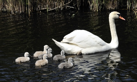 birds lake: swan family with young birds