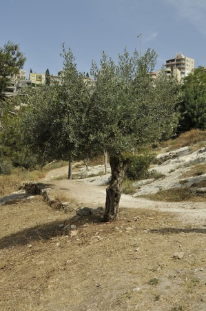 old olive trees Stock Photo - 14567111