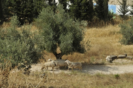 old olive trees with sheep Stock Photo - 14567133