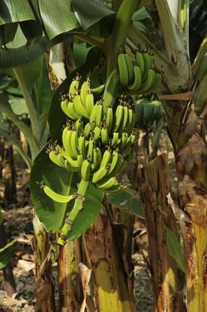 banana tree in israel photo