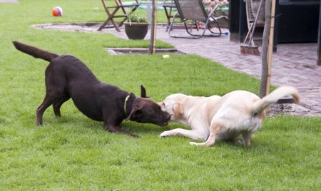 brown and white labrador play looking like fight photo