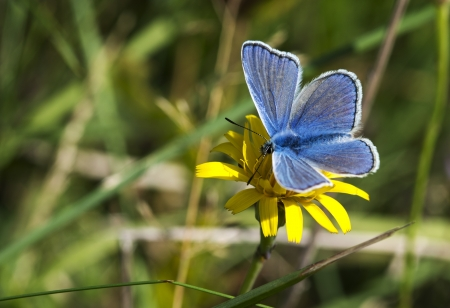 Common Blue butterfly  polyommatus icarus Stock Photo - 15385212