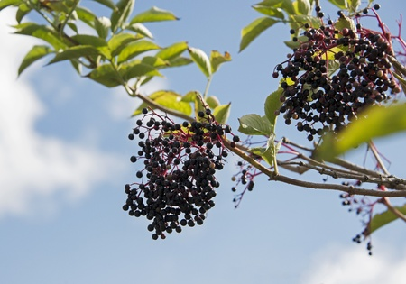 elder tree: elderberries on green leaves with blue sky and white clouds as background