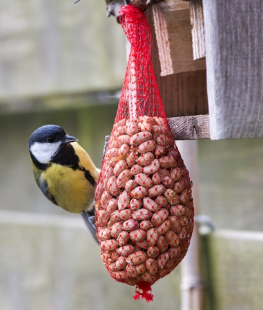 great tit with peanuts as winter feed photo