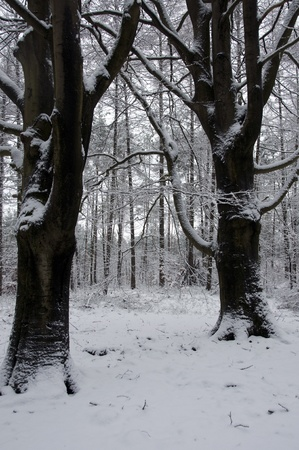 icey: winter in the forest with snow