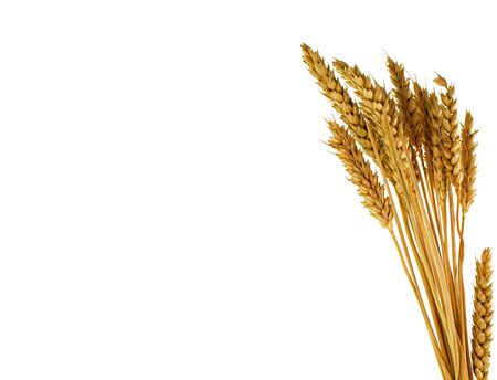 wheat plants isolated on white  background photo