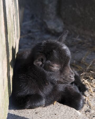 very small and young goat from few days old photo