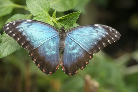 morpho menelaus: blue morphoo butterfly on green leaves