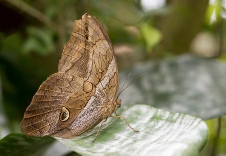 morpho menelaus:  morphoo butterfly on green leaves