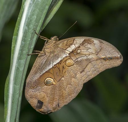 morphoo butterfly on green leaves
