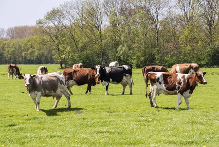 cows red and black on green grass in dutch landscape photo
