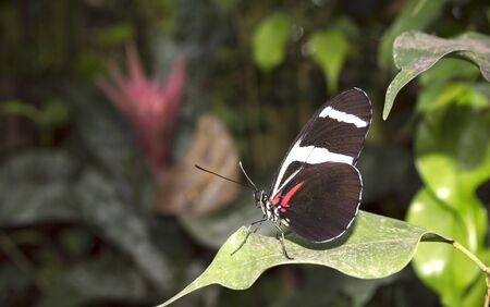 longwing: Doris Longwing butterfly Heliconius doris on green leaves