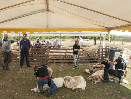 shearing a sheep at the annual sheep shearing  in Ermelo, Holland  The sheeps wool is used for weavig and making clothes
