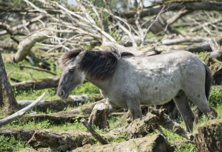 plassen: wild konink horse in oostvaarders plassen dutch nature area