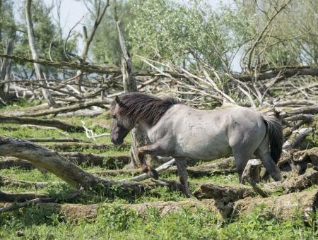 plassen: wild konink horses in oostvaarders plassen dutch nature area