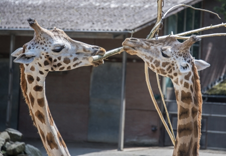 bough: two big giraffes in the zoo with a bough
