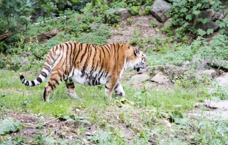 panthera tigris sumatrae: pantera tigris altaica amurtiger in zoo
