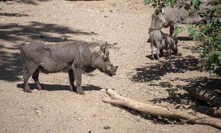 family of warthog animals in the zoo photo