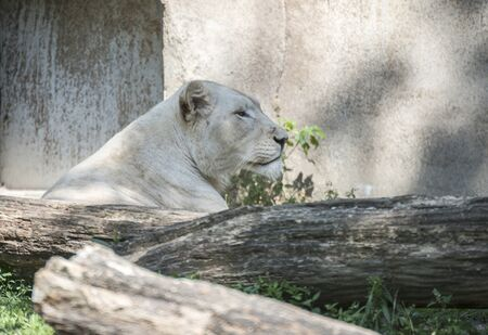 white female lion in the zoo in holland photo