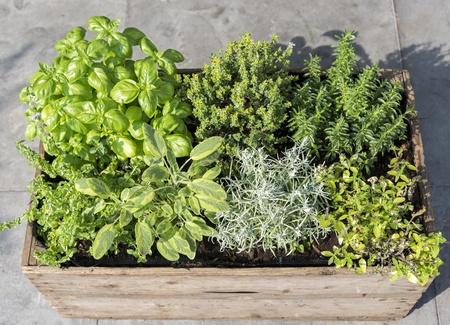 mentha: recipiente de madera con hierbas frescas menta mentha pulegium, siempreviva Helichrysum italicum, or�gano or�gano aureum, satureja salados, el timo y la albahaca Ocimum