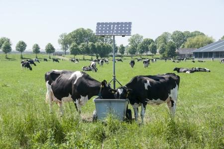 bomba de agua: vacas beben con paneles solares de energ�a para la calefacci�n