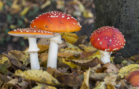 entheogen: three Amanita muscaria or fly agaric fungus in german nature