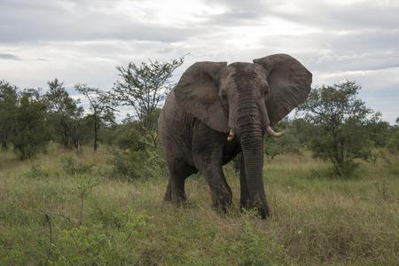wees: grote olifant in het nationale Kruger wildpark van Zuid-Afrika in de buurt van Hoedspruit op te orphan gate