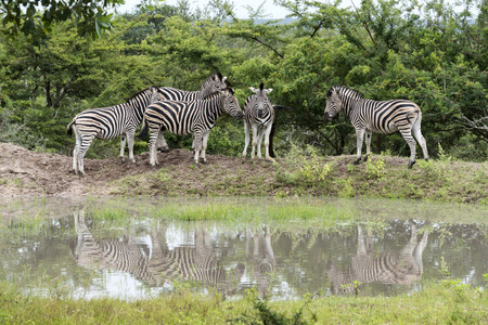 group of zebras at the water south africa national park photo