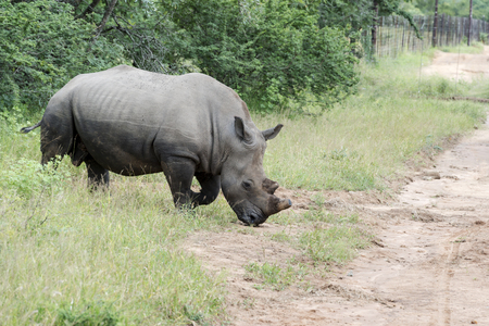 white rhino one of the big 5 animals at the kruger national park in south africa photo