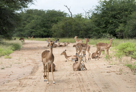 impala on the sand road kruger national park south africa photo