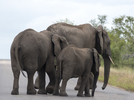 elephants crossing the road national kruger wild park south africa near hoedspruit  photo