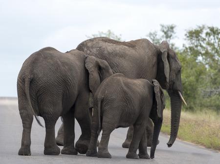 elephants crossing the road national kruger wild park south africa near hoedspruit  photo
